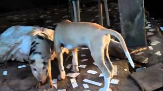 cachorro tarado pegando o porco
