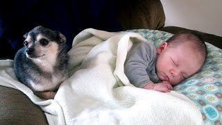 Little Chihuahua protects and takes care Baby   Dog is the best nanny of Baby