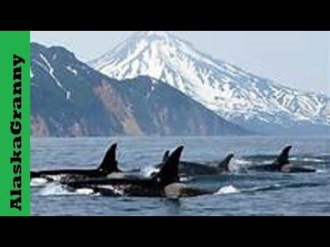 Orca Killer Whales Alaska