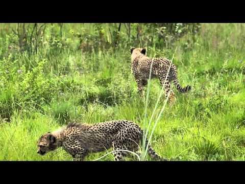 Cheetah and cubs.AVI