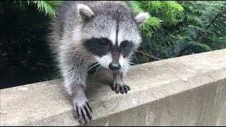 Sammy-girl Raccoon - Part 2 | Abandonment