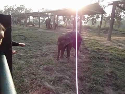 Elephant farm and brazen goats. Nepal
