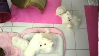 Bichon Frise Purebred Puppy - ~~ LIVE WEBCAM ~~