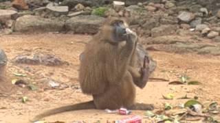 Insolite!  Boubou, un singe qui veut se brosser les dents!