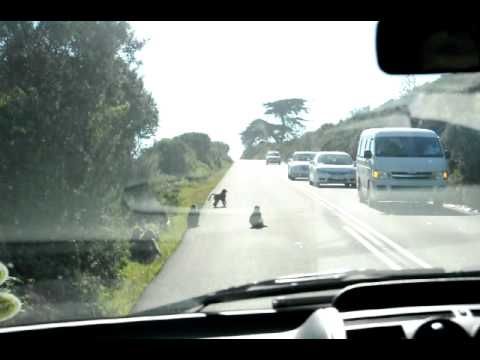 Baboons blocking the road in Cape Point