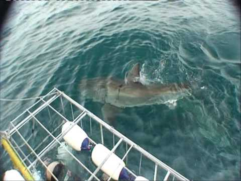 Great White Shark – South Africa