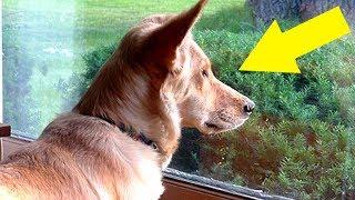 Hund starrt jeden Tag aus dem Fenster, dann findet die Besitzerin heraus warum – Herzergreifend!