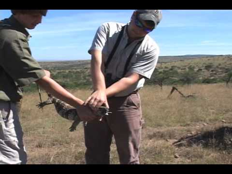 Monitor Lizard Catch on Safari in South Africa with The Hunting Company