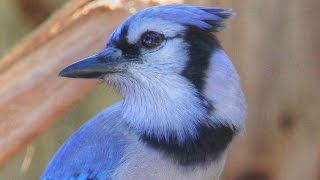 Unusual Blue Jay Song