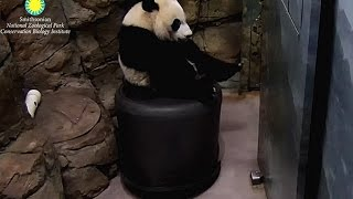 Bei Bei Panda - Return of the Pink Panda 1-08-17