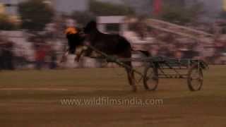 Jockey thrown off during bullock cart race