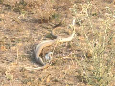 Two mating snakes in Nepal