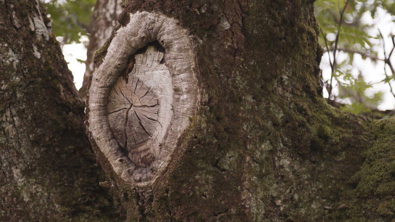 Ireland's Native Trees – Episode 1 OAK