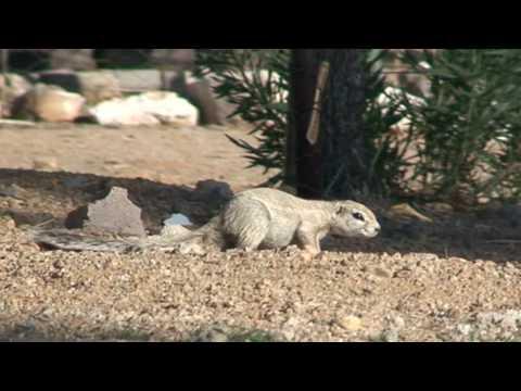 Africian Bush Squirrel