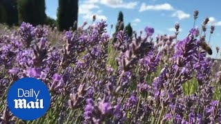 Lavender comes into bloom in North Yorkshire