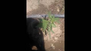 Mariguana planta que es macho