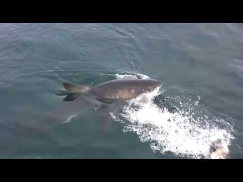 Shark Diving with Great Whites