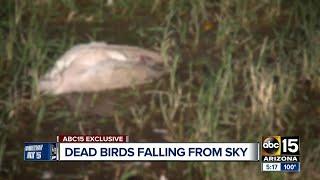 Dead birds falling from the sky in Buckeye