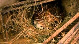 Codorna Chocando seus ovos
