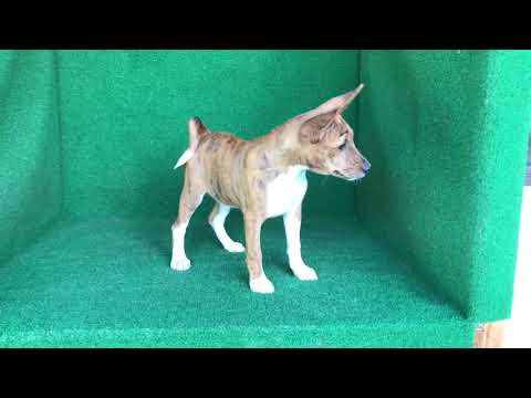 Basenji Puppies For Sale From Reputable Dog Breeders