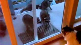 Raccoon vs Cats - We Got Raccoons.wmv