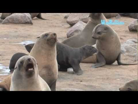Namibia: Robbenkonzert am Kreuzkap