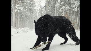 Two Largest Wolf ever caught on tape