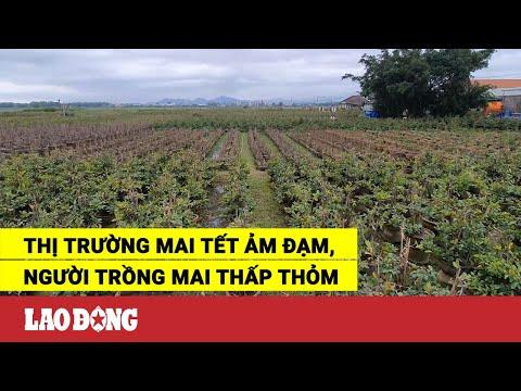 Thị trường mai Tết ảm đạm, người trồng mai thấp thỏm