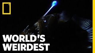 Learn about angler fish
