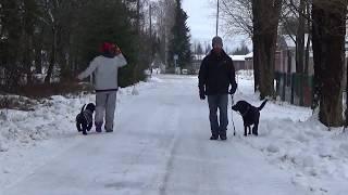 Labradorinnoutajan muutos koulutuksen aikana, Koirakoulu Homeetta