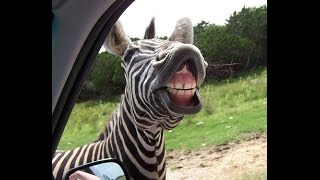 Funny Zebra Gets 2.6 Billion Likes !