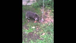 Armadilha com laço pra tentar pegar gatos kkkk