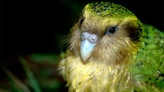 The Unnatural History of the Kakapo - Trailer