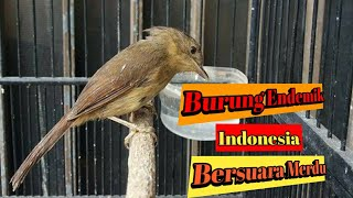 Burung Wergan / Flamboyan | Saingan Sikatan Londo | Burung Kicau Terbaru di Indonesia width=