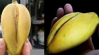 Manga buceta - A fruta proibida