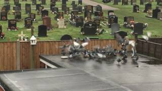 Greedy Pigeon