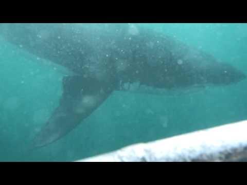 White Sharks in Gansbaai (South Africa)