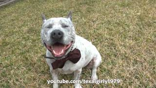 Kikilips (Bow Tie) song by Ivo Linna. Pit Bull Sharky with Chicks.