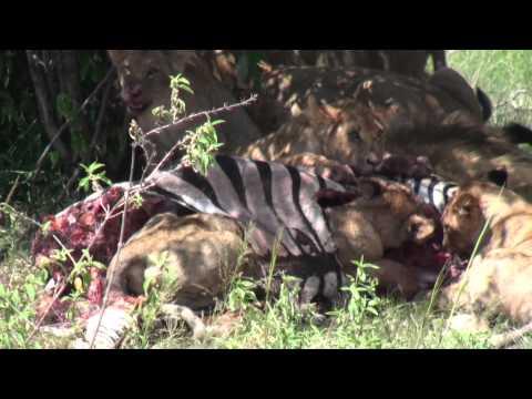Leões se alimentando na savana