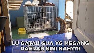 KUCING BERANTEM LUCU NGAKAK (BAHASA INDONESIA)