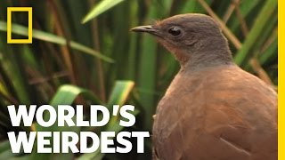 Bird Mimics Chainsaw, Car Alarm and More   World's Weirdest