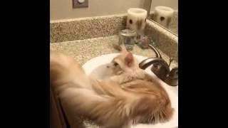 This cat loves Water! - Cat in washbasin