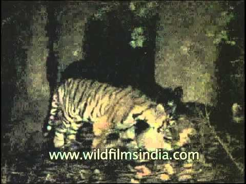Mother tigress eating prey with her cub – Shot through night vision camera