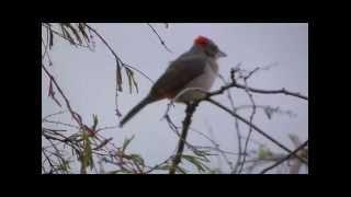 Pássaro Maria Fita Cantando