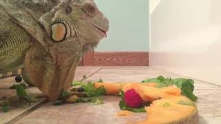 Adult green iguana feeding