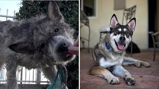 Dog Found On Streets of LA and Mistaken For Wolf Has Amazing Transformation