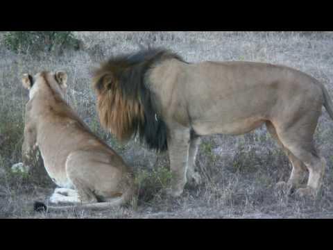 GSC 0079 – Lions get at it – South Africa holiday 2009 – Shawn & Silmiya Hendricks