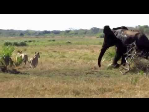Elephants chasing lions in Tembe Elephant Park