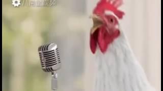 Gallo despertador