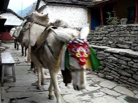 Pack horses – Jomsom Trek – Nepal
